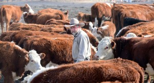 California rancher Nathan Carver walks amid his herd of beef cattle on a ranch which has been family owned for five generations, on the outskirts of Delano, in California's Central Valley, on February 3, 2014.  At this time of the year normally, the fields would be covered in lush green grass but the western US states's worst drought in decades has reduced the land to a parched moonscape. Carver remembers tales his grandparents told of the Dust Bowl years in the 1930's, but this is as bad as he has ever seen it in his lifetime, he said.        AFP PHOTO / Frederic J. Brown        (Photo credit should read FREDERIC J. BROWN/AFP/Getty Images)